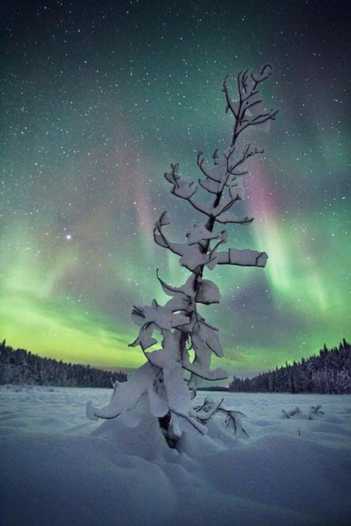 aurores-boréales-pin-solitaire-dans-la-neige-et-aurore-boréale