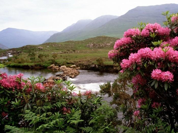 beau-à-voir-en-irlande-voyager-irlande-image-jolie-belles-roses