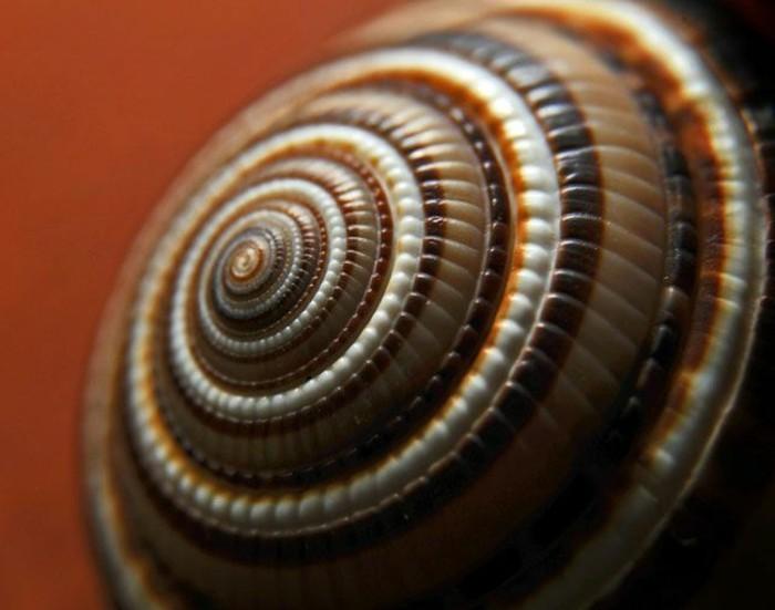 suite-de-Fibonacci-coquillage-en-marron-et-blanc-resized