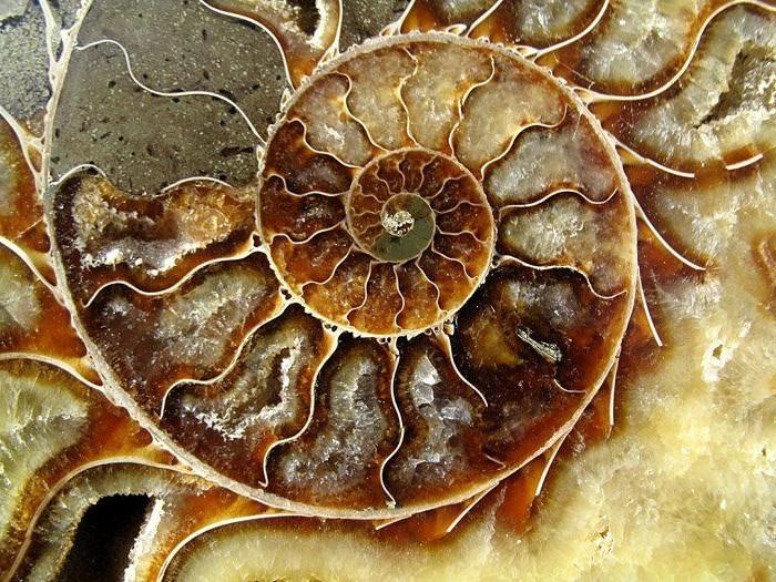 suite-de-Fibonacci-geometrie-sacree-coquillage-resized