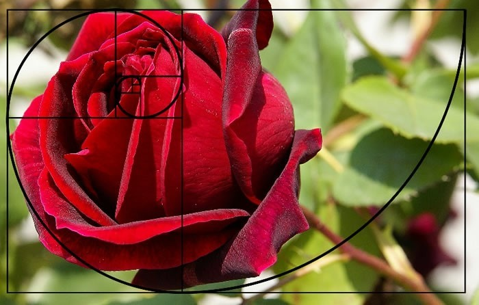 suite-de-Fibonacci-la-rose-rouge-resized