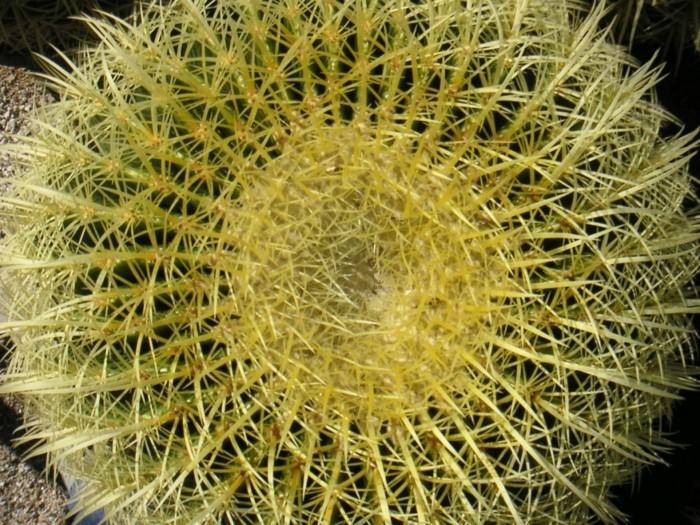 suite-de-Fibonacci-nombre-d'or-cactus-jaune-resized