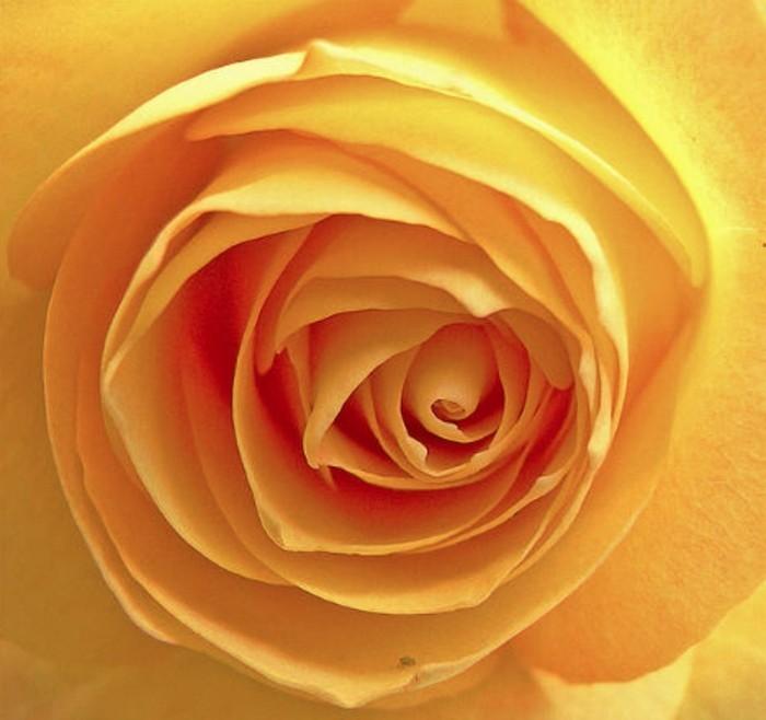 suite-de-Fibonacci-rose-spirale-le-nombre-d'-or-resized