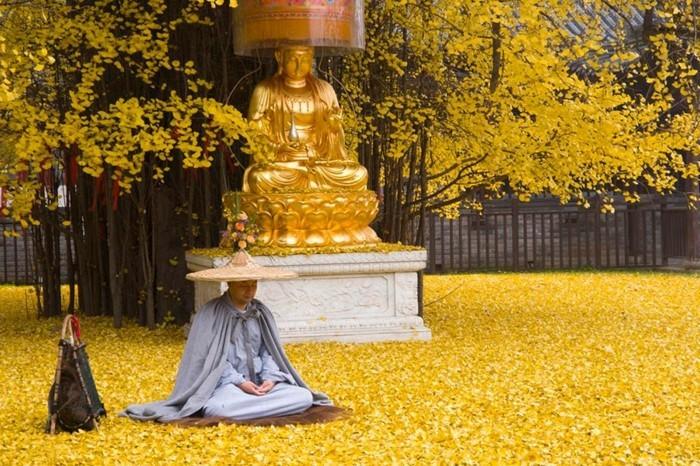 temple-bouddhiste-un-arbre-ginkgo-biloba-vieux-de-1400-ans-resized