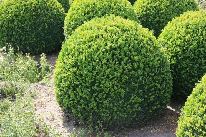 112-Arbuste buis bein arrange