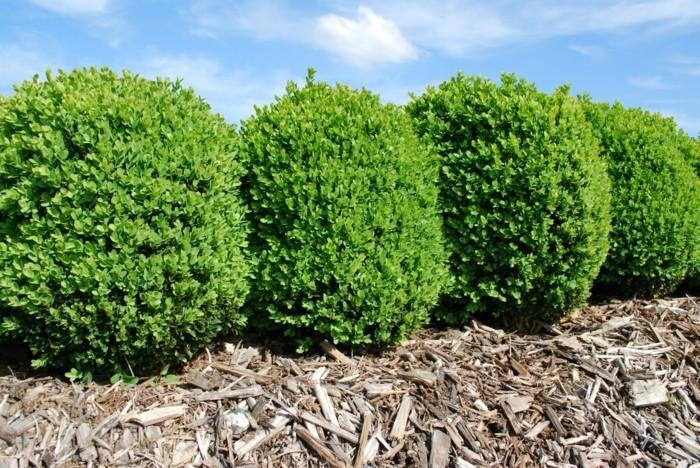 116-Arbuste buis - exemples