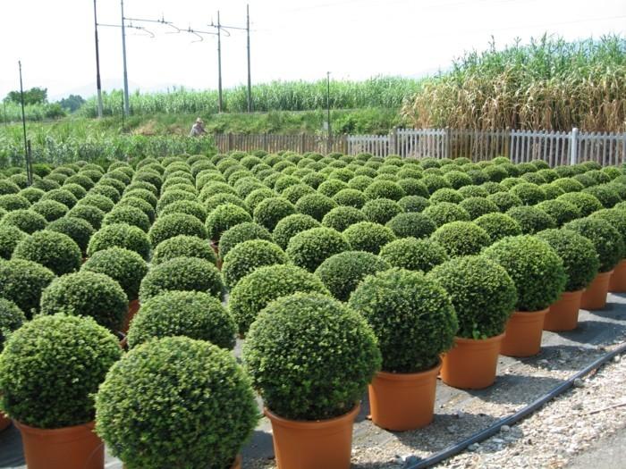 118-Arbuste buis - plusieurs pots