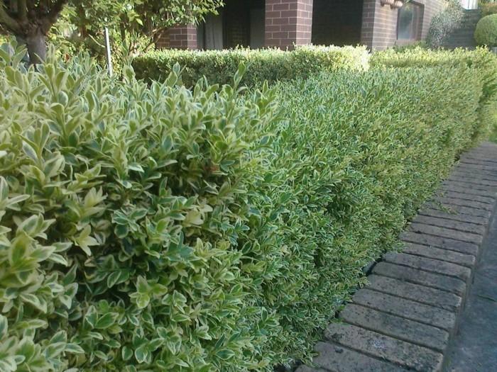 119-Arbuste buis bien soigne