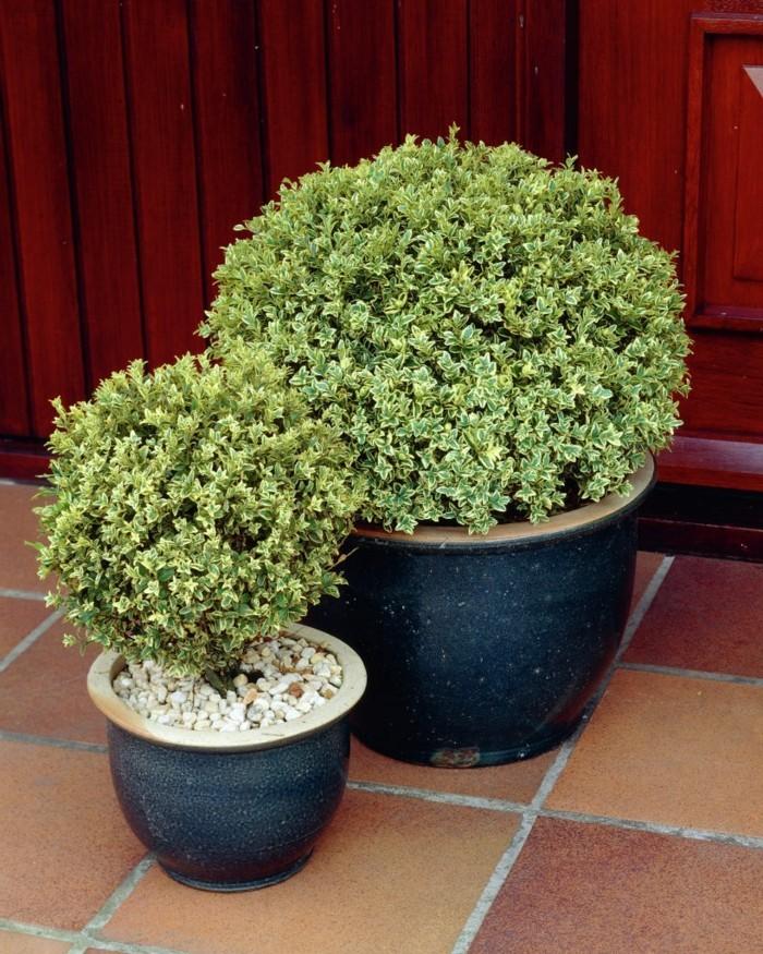 Buxus sempervirens Elegantissima