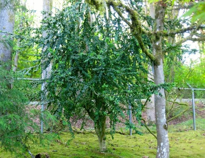 127-Taille buis boule arbres