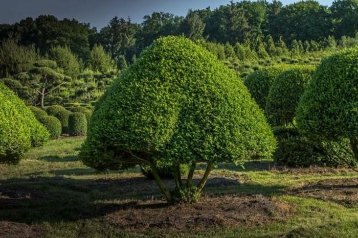 20-Buis boule - arbres verts