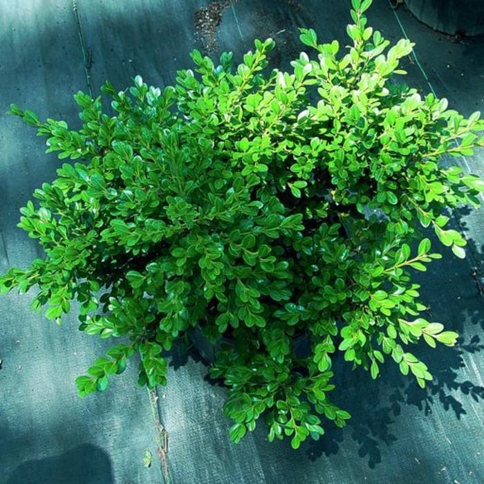 42-Boule de buis - arbre