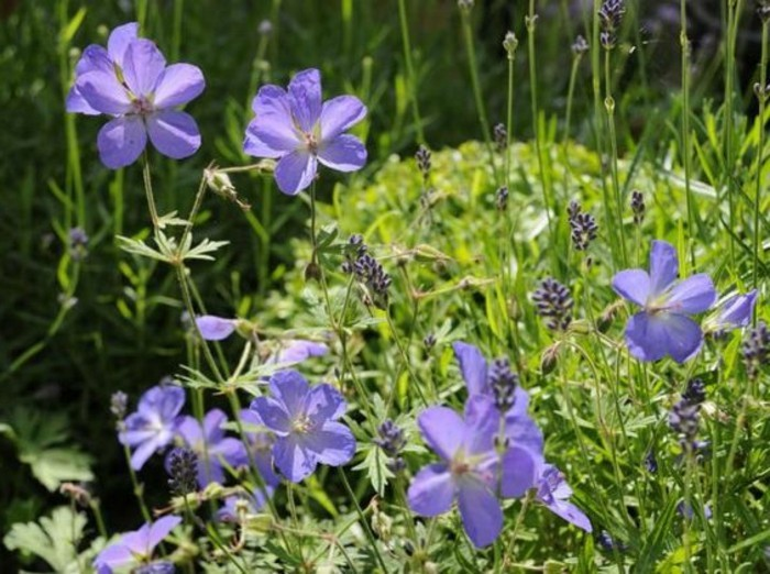 46-Boule de buis - fleurs bleues