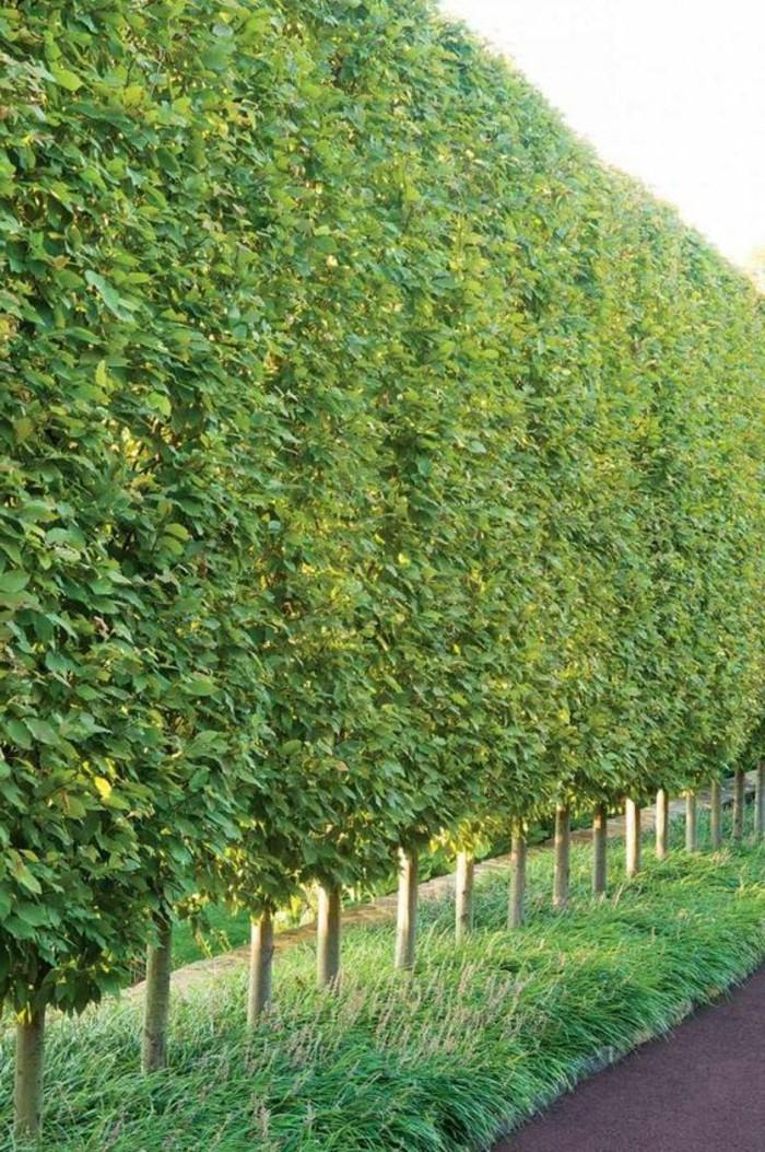 52-Mur de cloture. Une longue rangee d'arbres.