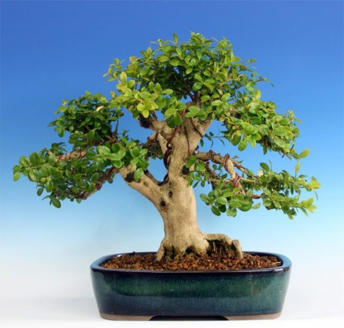 55-Boule de buis - un arbre
