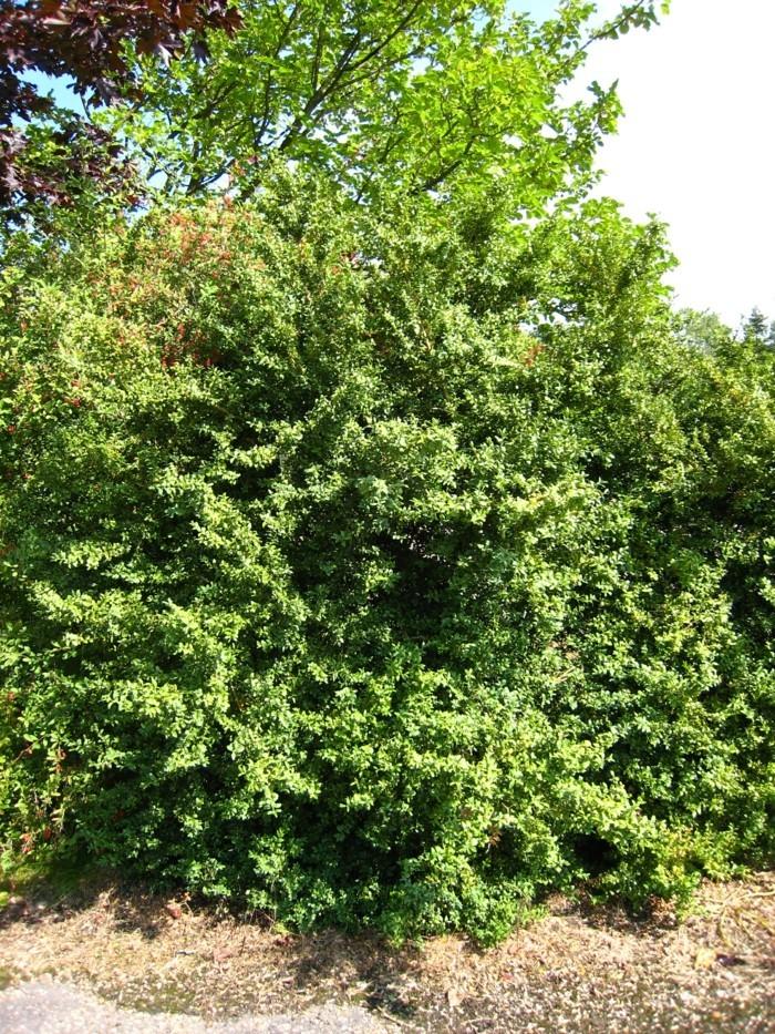 83-Taille des buis boule - un arbre