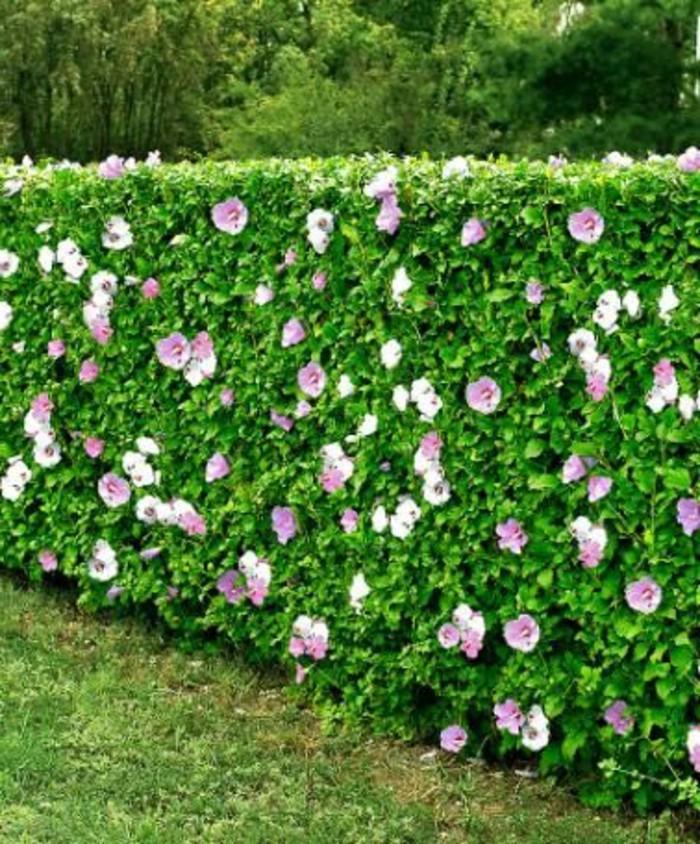 93-Murs de cloture. Buis. Fleurs roses.