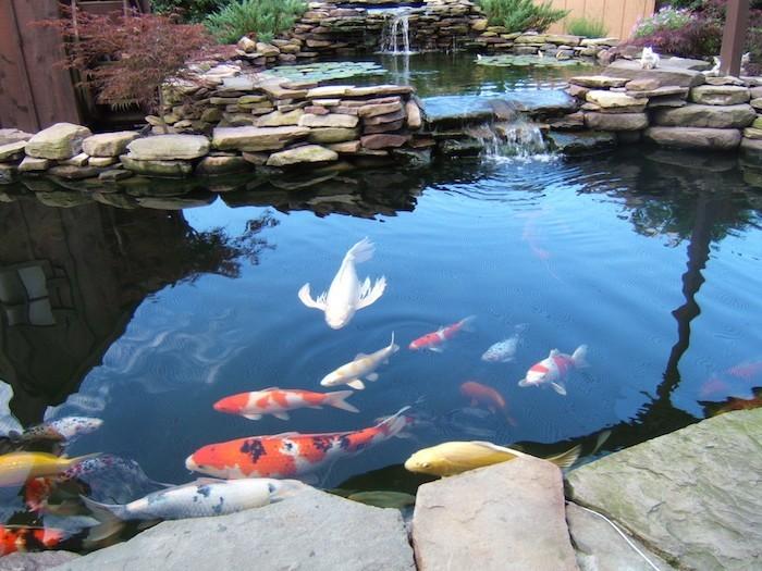 bassin-a-poisson-carpe-koi