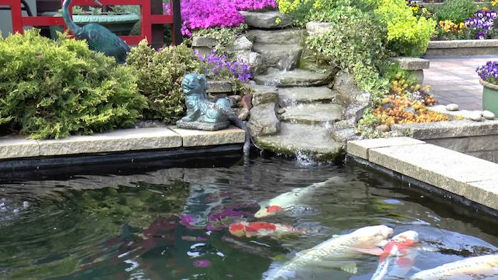 bassin-a-poisson-carpes-koi