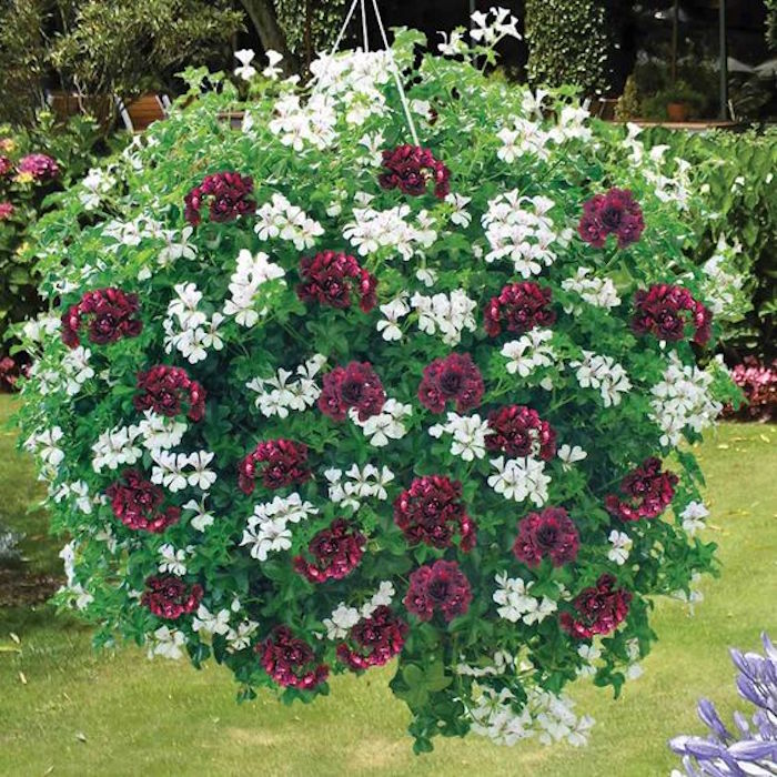 Plante tombante cultivez votre jardin int rieur en 41 photos - Beau jardin rose and geranium ...
