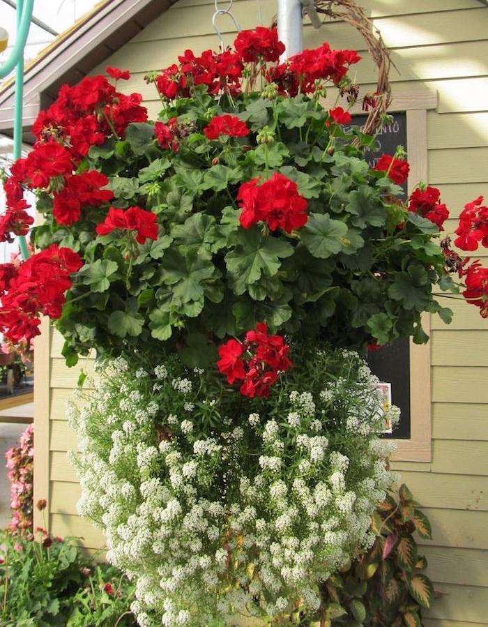 bouquet-geranium-suspendu-plante-tombante-plantes-retombantes