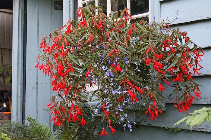 campanule-tombante-plantes-retombantes