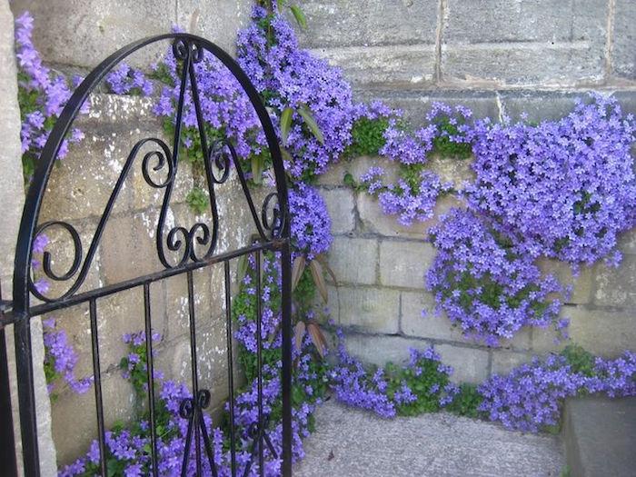 fleur-grimpante-plante-tombante-plantes-retombantes-campanule