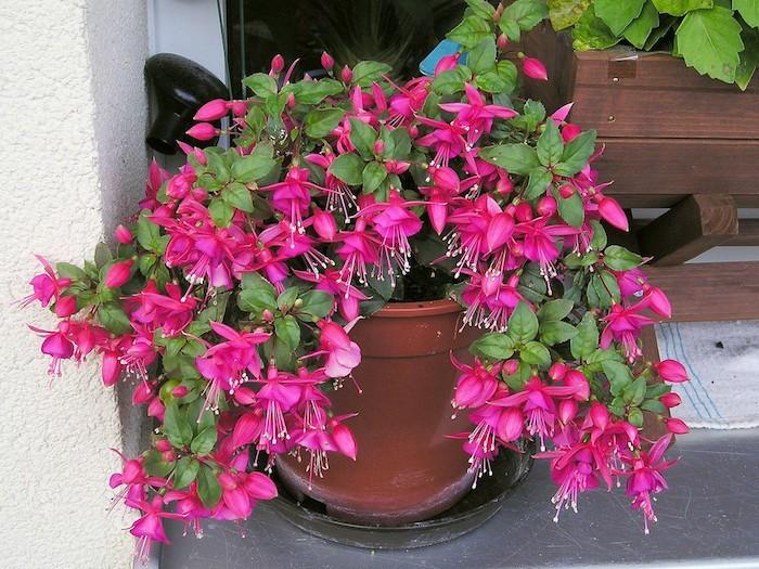 fleurs-fuchsia-fleur-tombante-plantes-retombantes