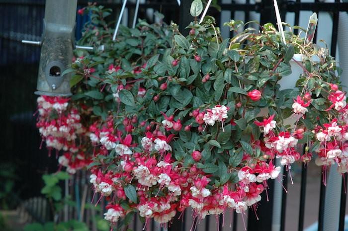 fleurs-fuchsia-jardiniere-suspendue-plantes-tombantes