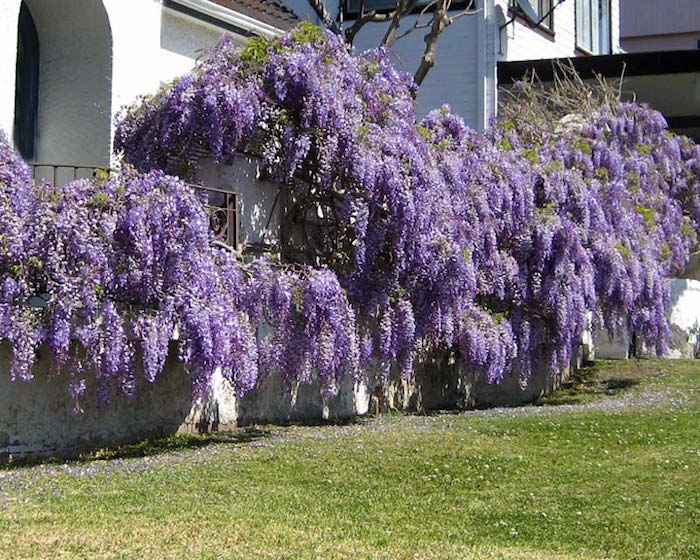 fleurs-glycines-tombantes-plantes-retombantes