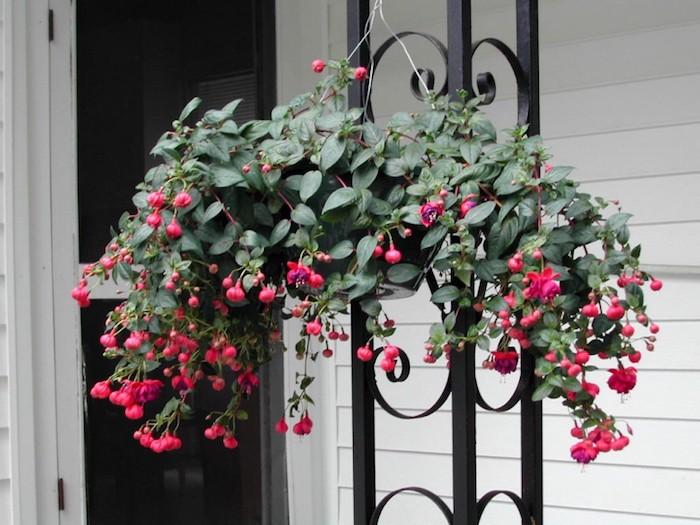 fuchsia-fleur-tombante-plantes-retombantes