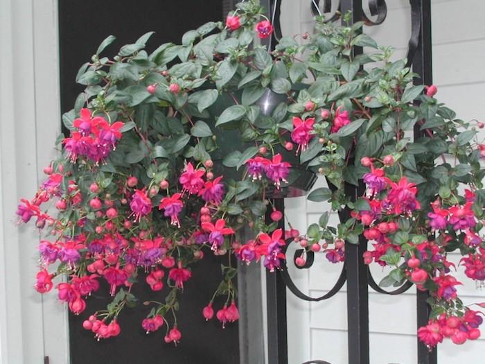 fuhsia-suspendu-bouquet-fleurs-fuschia-plante-tombante-plantes-retombantes