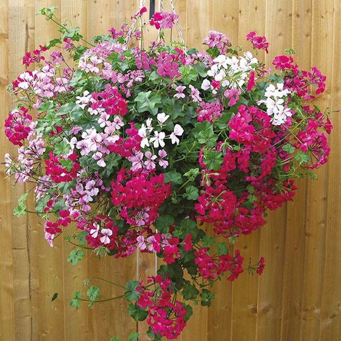 geranium-jardiniere-balcon-plante-retombante-plantes-tombantes