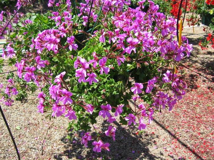 geranium-tombant-plantes-suspendues