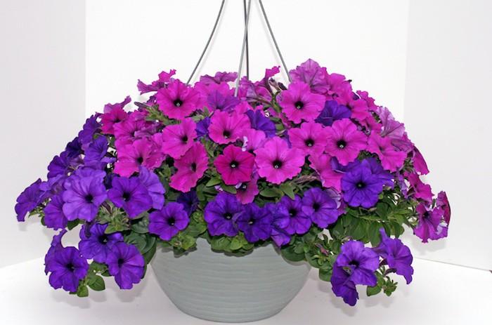 petunia-fleurs-tombantes-plante-teombante
