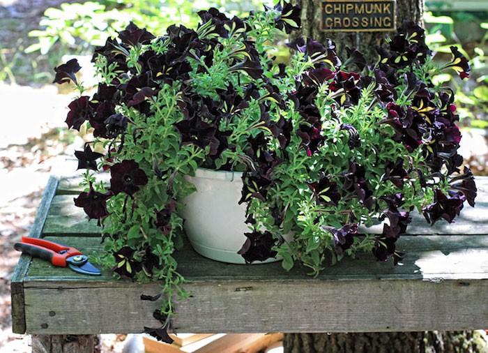 petunia-noir-pot-fleur-balcon-plante-tombante-fleurs-retombantes
