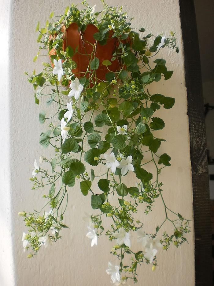 plante-tombante-campanule