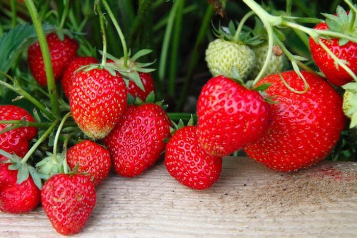 que-planter-en-septembre-fruit-fraisier