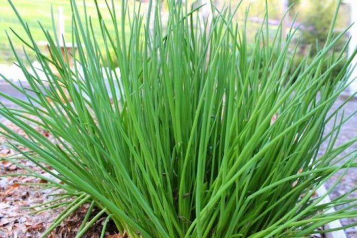 quoi-planter-en-septembre-ciboulette-herbes-jardin-automne