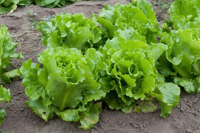 quoi-planter-en-septembre-legume-laitue