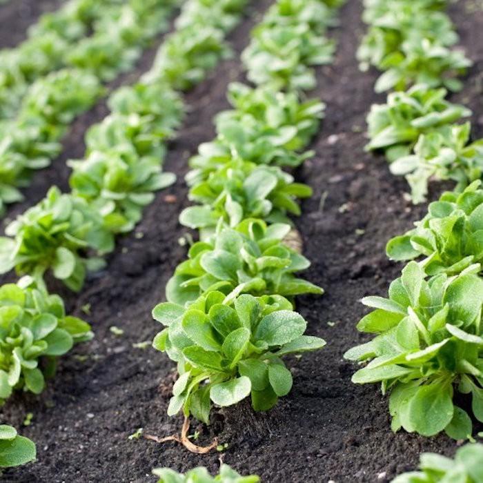 quoi-planter-en-septembre-legume-mache