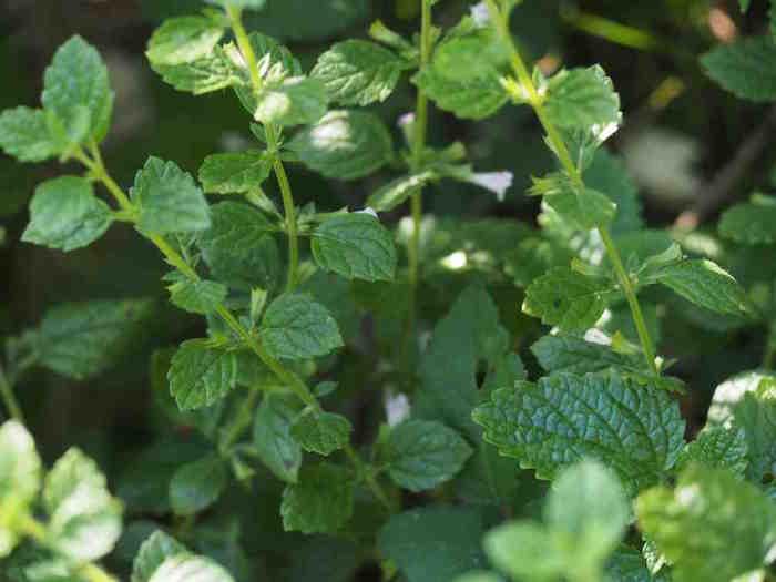melissa-officinalis-plante-medicinale-soigner-stress-fatigue
