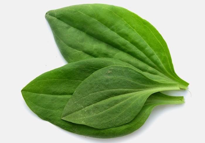 plaintain-remede-naturel-plantes-medicinale-aromatique