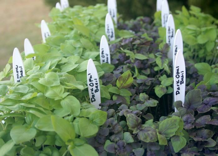 plante-aromatique-liste-150-varietés-basilic
