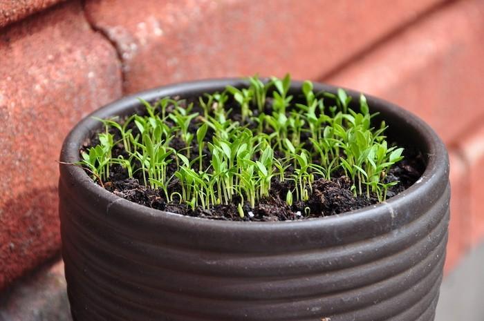 planter-du-persil-choux-plante-aromatique-créer-un-potager
