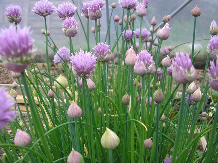 planter fleur ciboulette en pot dans jardin pour fleurs
