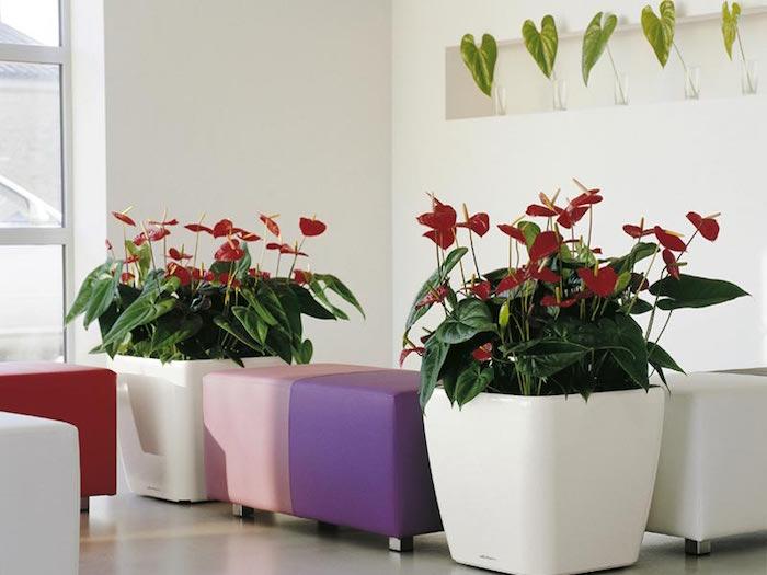 anthurium-assainir-l-air-plante-d-interieur-depolluante-purifier