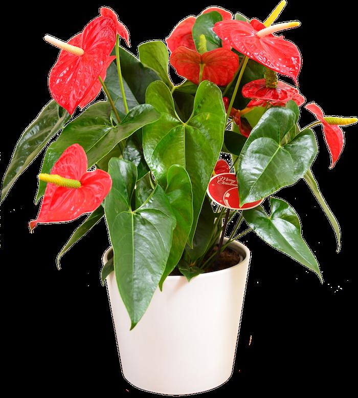 anthurium-rouge-plante-anti-toxique-pollution-interieur