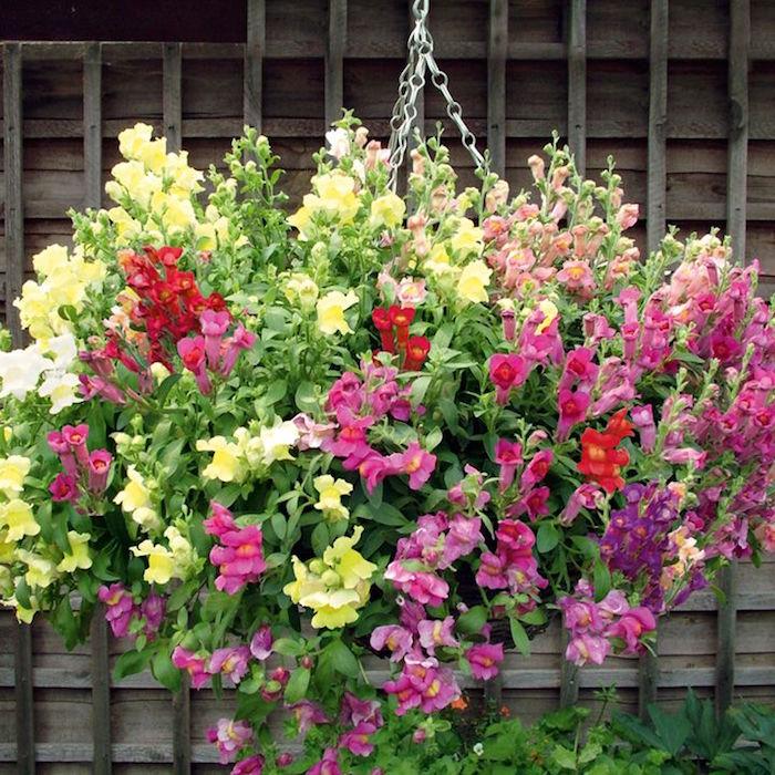 antirrhinum-toutes-couleurs-mufliers-roses-jaunes-rouges-fleurs-d-hiver