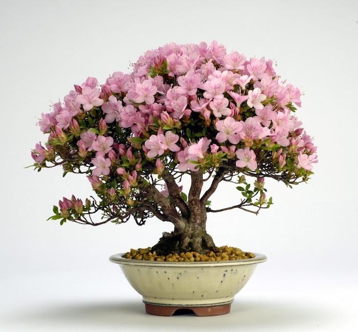 azalee-bonsai-banzai-fleurs-roses-plante-depolluante-detoxifiantes-anti-pollution-appartement